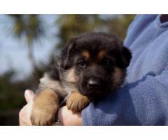German Shepherd puppy price in Dehradun, German Shepherd puppy for sale in Dehradun