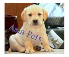 Labrador puppy price in gurgaon, Labrador puppy for sale in gurgaon,