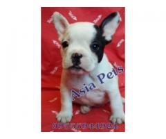 French Bulldog puppies price in gurgaon, French Bulldog puppies for sale in gurgaon,