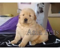 Golden retriever puppies for sale in gurgaon, Golden retriever puppies for sale in gurgaon,