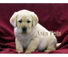 Labrador puppies price in gurgaon, Labrador puppies for sale in gurgaon,