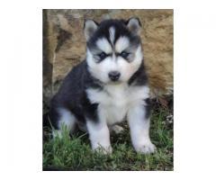 Siberian husky puppies price in gurgaon, Siberian husky puppies for sale in gurgaon