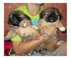 Pekingese puppies price in noida, Pekingese puppies for sale in noida