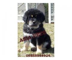 Tibetan mastiff puppies price in noida, Tibetan mastiff puppies for sale in noida