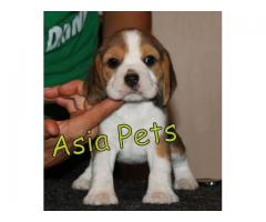 Beagle puppies price in noida, Beagle puppies for sale in noida