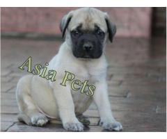 Bullmastiff puppy price in noida, Bullmastiff puppy for sale in noida