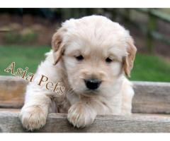 Golden retriever puppy for sale in noida, Golden retriever puppy for sale in noida