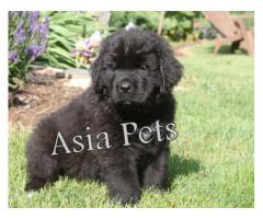 Newfoundland puppy price in noida, Newfoundland puppy for sale in noida