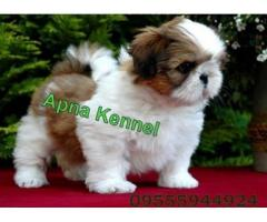 Shih tzu puppy price in noida, Shih tzu puppy for sale in noida