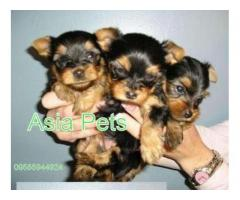 Yorkshire terrier puppy price in noida, Yorkshire terrier puppy for sale in noida