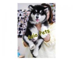 Alaskan malamute pups price in noida, Alaskan malamute pups for sale in noida