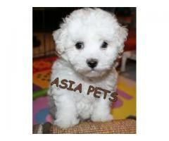 Bichon frise pups price in noida, Bichon frise pups for sale in noida