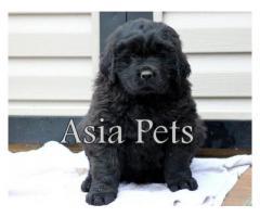 Newfoundland pups price in noida, Newfoundland pups for sale in noida