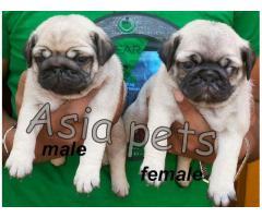 Pug pups price in noida, Pug pups for sale in noida