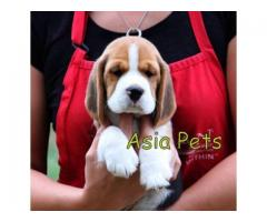 Beagle puppy price in Faridabad, Beagle puppy for sale in Faridabad