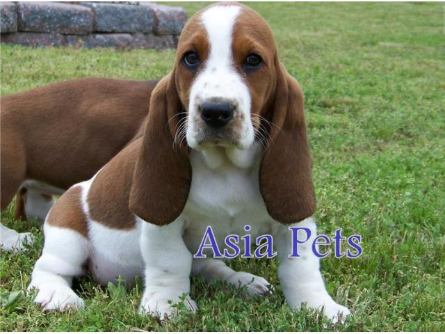 Basset hound puppy price in Faridabad, Basset hound puppy for sale in Faridabad