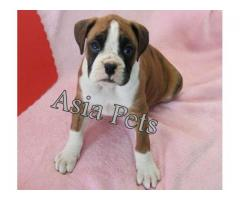Boxer puppy price in Faridabad, Boxer puppy for sale in Faridabad