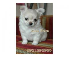 Chihuahua puppy price in Faridabad, Chihuahua puppy for sale in Faridabad