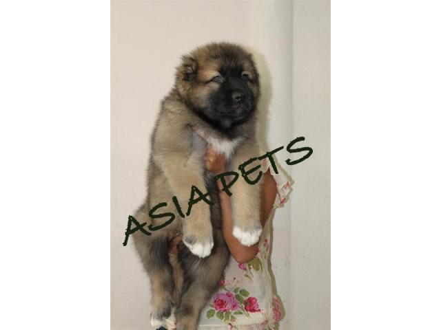 Cane corso puppy price in Faridabad, Cane corso puppy for sale in Faridabad