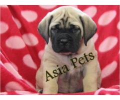 English Mastiff puppy price in Faridabad, English Mastiff puppy for sale in Faridabad