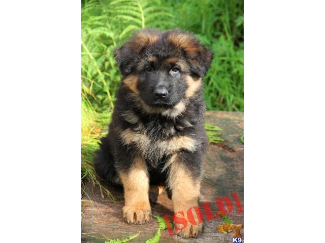 German Shepherd puppy price in Faridabad, German Shepherd puppy for sale in Faridabad