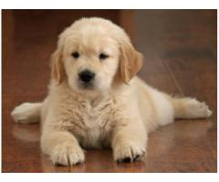 Golden retriever puppy for sale in Faridabad, Golden retriever puppy for sale in Faridabad