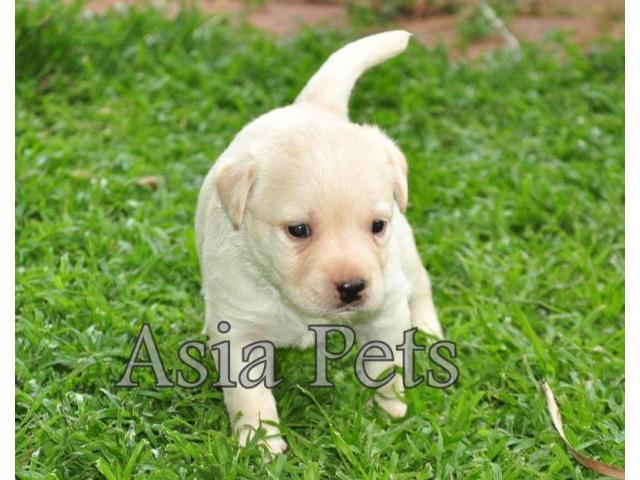 Labrador puppy price in Faridabad, Labrador puppy for sale in Faridabad