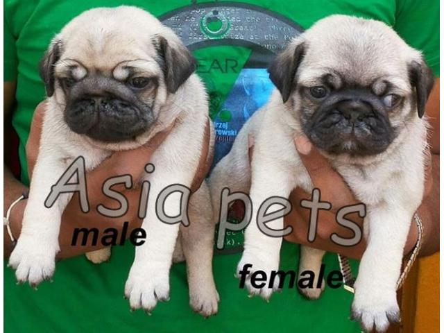 Pug puppy price in Faridabad, Pug puppy for sale in Faridabad