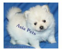 Pomeranian puppy price in Faridabad, Pomeranian puppy for sale in Faridabad