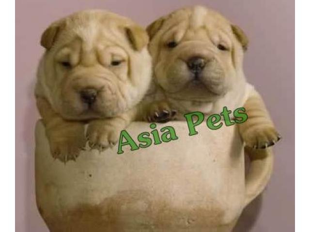 Shar pei puppy price in Faridabad, Shar pei puppy for sale in Faridabad