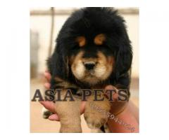 Tibetan mastiff puppy price in Faridabad, Tibetan mastiff puppy for sale in Faridabad