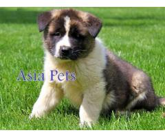 Akita puppy price in Ghaziabad, Akita puppy for sale in Ghaziabad