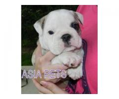 Bulldog puppy price in Ghaziabad, Bulldog puppy for sale in Ghaziabad