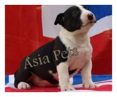 Bullterrier puppy price in Ghaziabad, Bullterrier puppy for sale in Ghaziabad