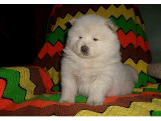 Chow chow puppy price in Ghaziabad, Chow chow puppy for sale in Ghaziabad
