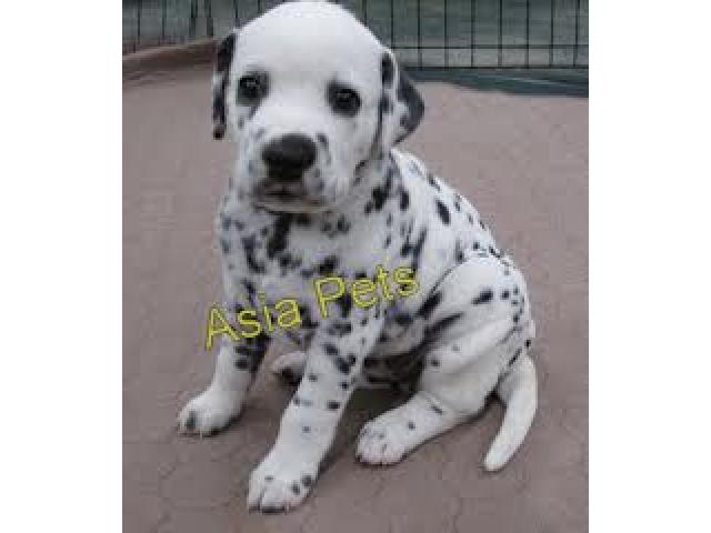 Dalmatian puppy price in Ghaziabad, Dalmatian puppy for sale in Ghaziabad
