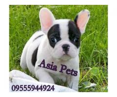 French Bulldog puppy price in Ghaziabad, French Bulldog puppy for sale in Ghaziabad