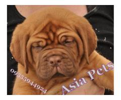 French Mastiff puppy price in Ghaziabad, French Mastiff puppy for sale in Ghaziabad