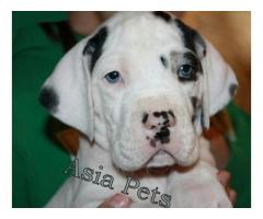 Harlequin great dane puppy price in Ghaziabad, Harlequin great dane puppy for sale in Ghaziabad