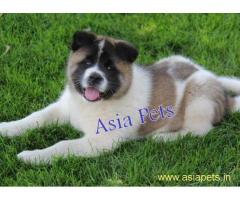 Akita puppy price in goa  Akita puppy for sale in goa