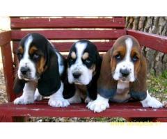 Basset hound puppy price in goa ,Basset hound puppy for sale in goa