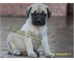 Bullmastiff puppy price in goa ,Bullmastiff puppy for sale in goa