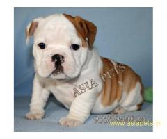 Bulldog puppy price in goa ,Bulldog puppy for sale in goa