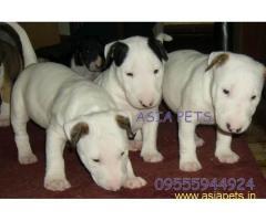 Bullterrier puppy price in goa ,Bullterrier puppy for sale in goa