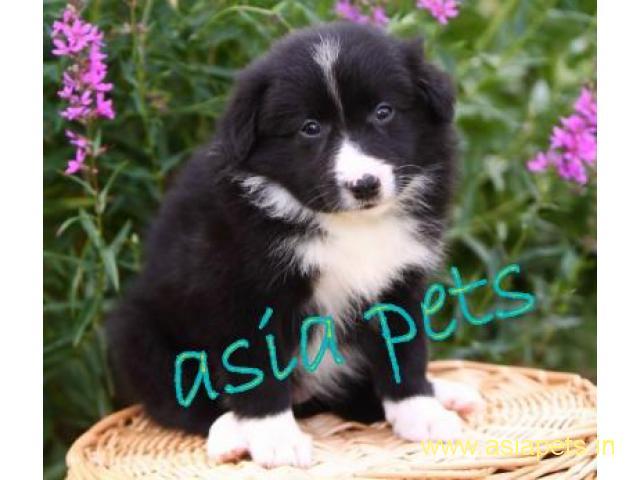 Collie puppy price in goa ,Collie puppy for sale in goa