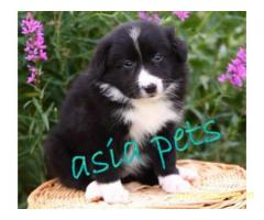 Collie puppy price in goa ,Collie puppy for sale in goa