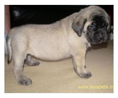 English Mastiff puppy price in goa ,English Mastiff puppy for sale in goa