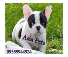 French Bulldog puppy price in goa ,French Bulldog puppy for sale in goa