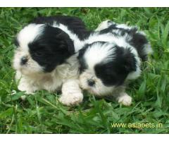 Lhasa apso puppy price in goa ,Lhasa apso puppy for sale in goa