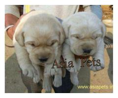 Labrador puppy price in goa ,Labrador puppy for sale in goa